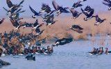 نخستین پرندگان مهاجر به تالابهای مازندران رسیدند