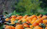 پیشبینی برداشت ۲٫۵ میلیون تن مرکبات از باغات مازندران/صادرات امسال جان میگیرد