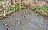 دوما، تنها روش مجاز صید پرندگان مهاجر در مازندران است